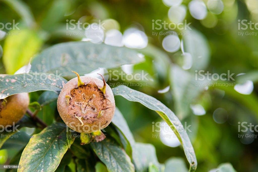 Common medlars on a tree (Mespilus germanica) stock photo