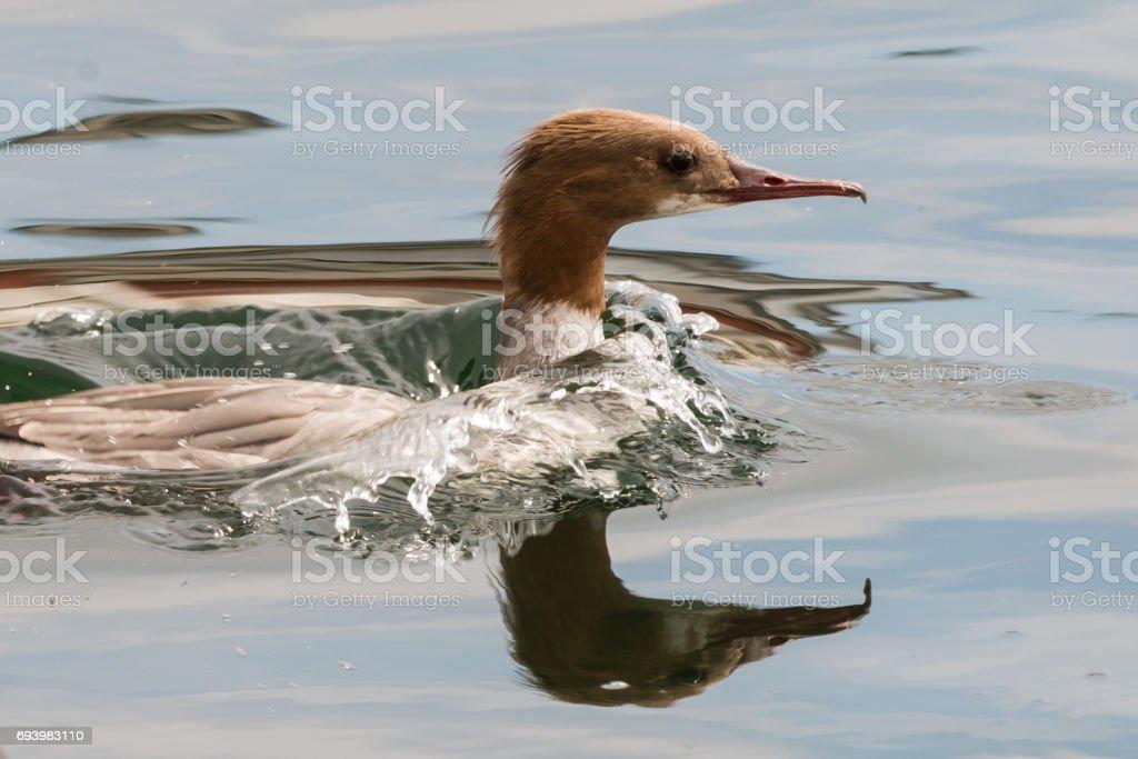 common merganser or goosander on a lake stock photo