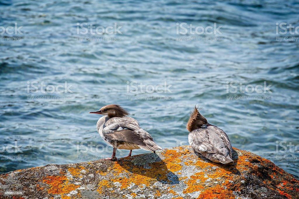 Merganso Comum par no Parque Nacional de Isle Royale foto royalty-free