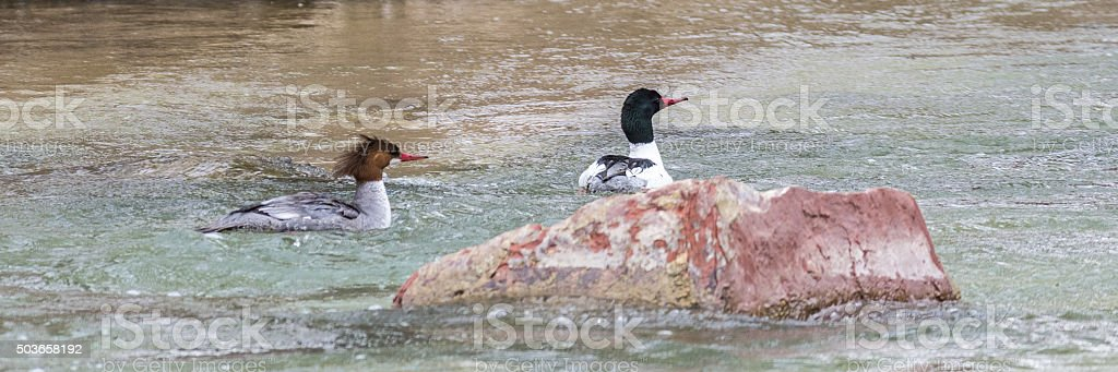 Common Merganser Pair stock photo