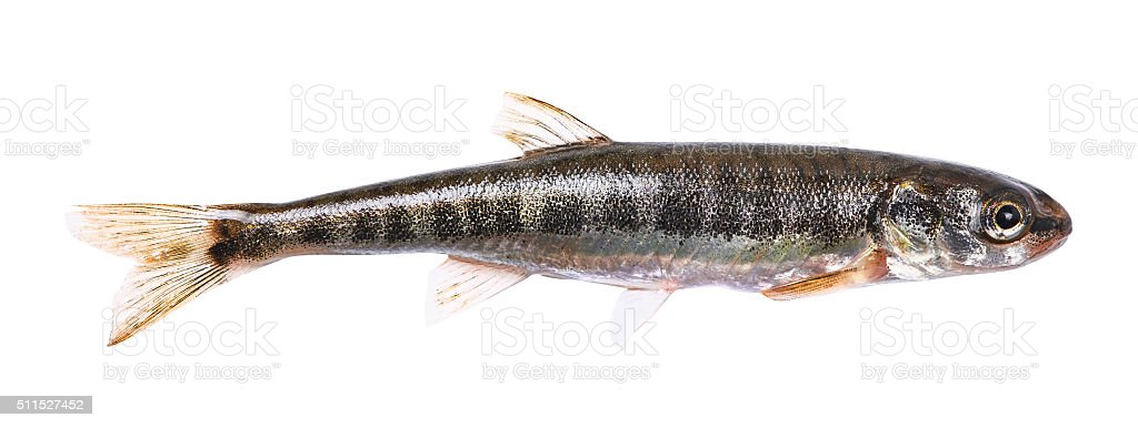 Common minnow (Phoxinus phoxinus) stock photo