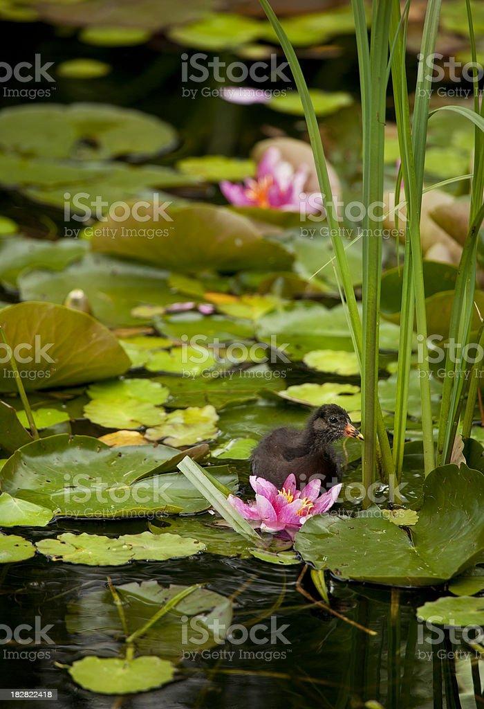 Common Moorhen Chick in Water Garden stock photo