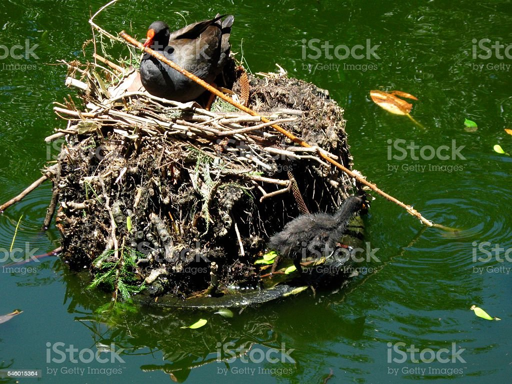 Common Moorhen on her nest with a chick stock photo