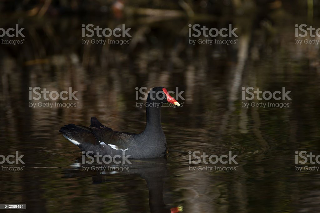 Common Moorhen Swimming, Merritt Island National Wildlife Refuge stock photo