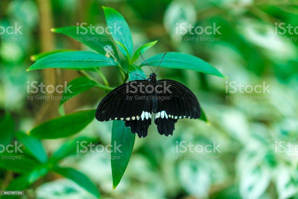 Common Mormon butterfly (Papilio polytes) stock photo