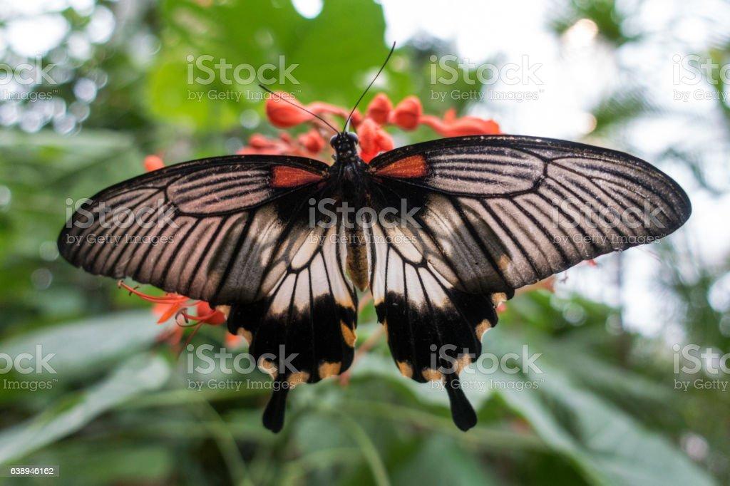 Common mormon (papilio polytes romolus) stock photo