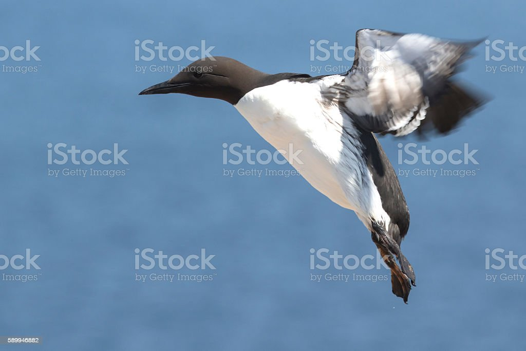 common murre at the time of landing on the rocks stock photo