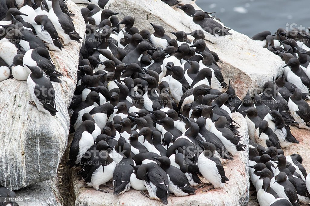 common murre colony on a rocky shelf of Pacific Islands stock photo