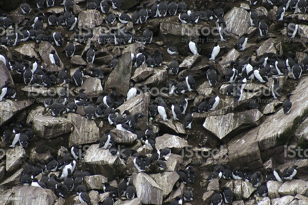 Common Murre colony (Uria aalge) on Newfoundland coastal island. royalty-free stock photo