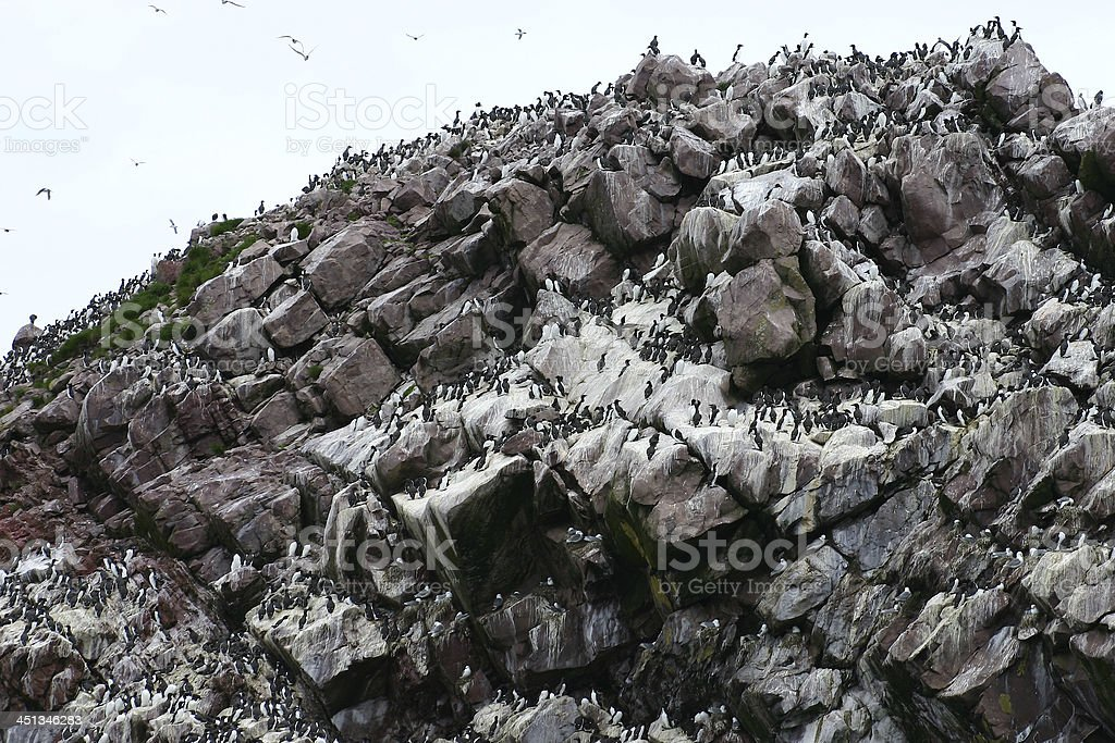 Common Murre colony (Uria aalge) on Newfoundland coastal island. royalty-free stock photo