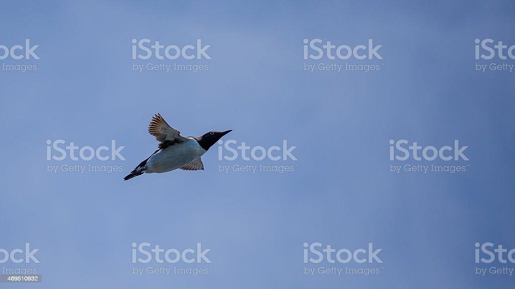 Common Murre flying stock photo