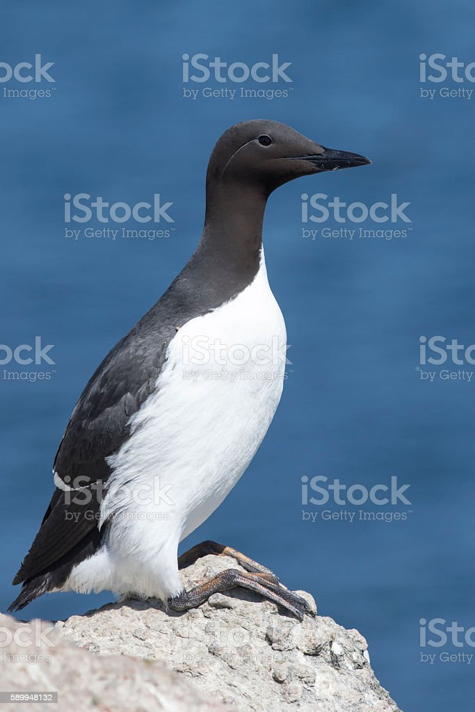 common murre is sitting on rock on a sunny day stock photo