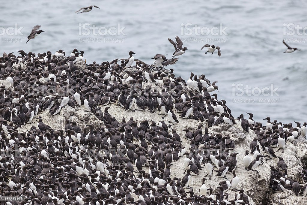 Common Murre royalty-free stock photo