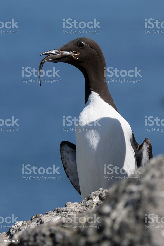 common murre sitting with a fish in its beak stock photo