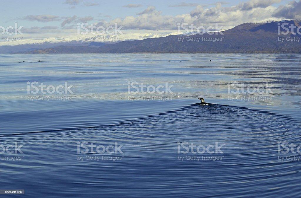 Common murre swimming away stock photo