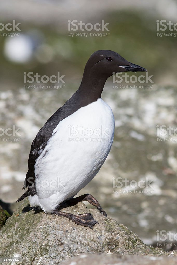 common murre which stands on a cliff near the colony stock photo
