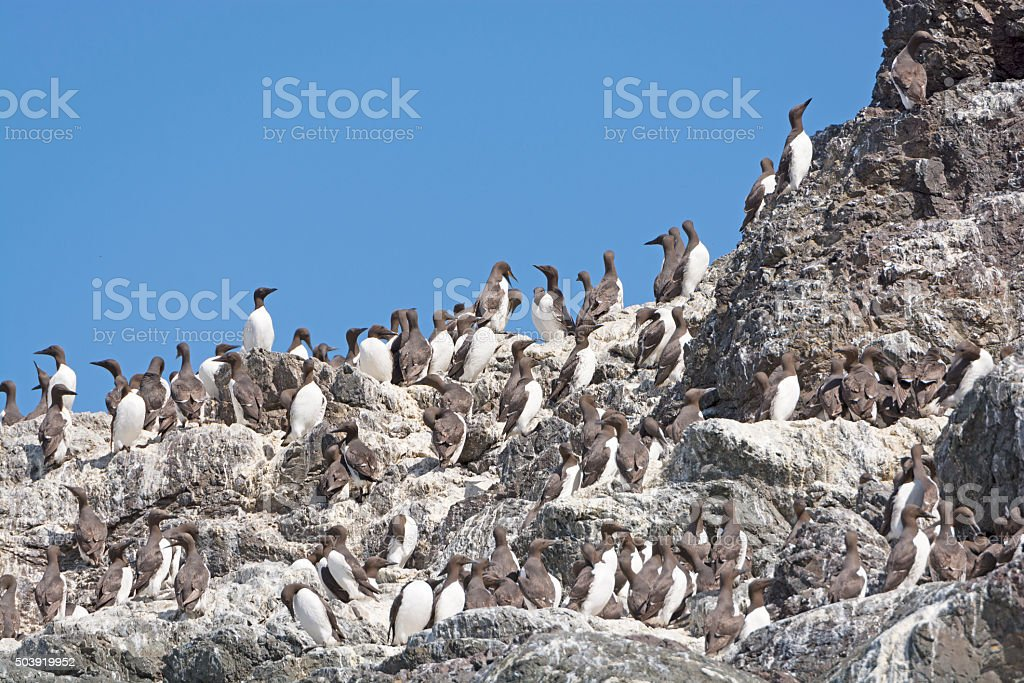 Common Murres on a Nesting Island stock photo