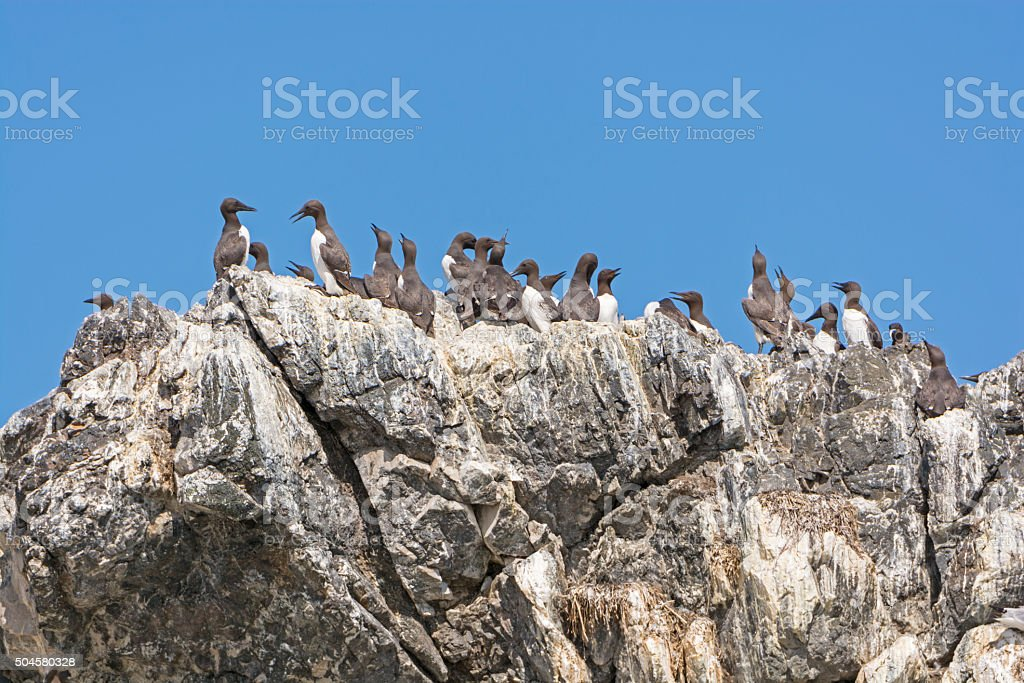 Common Murres on a Rocky Cliff stock photo