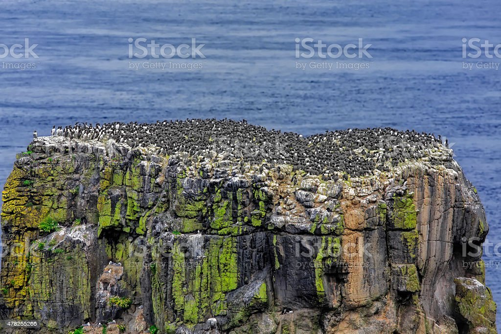 Common murres, or guillemots on Rathlin Island, Ireland stock photo