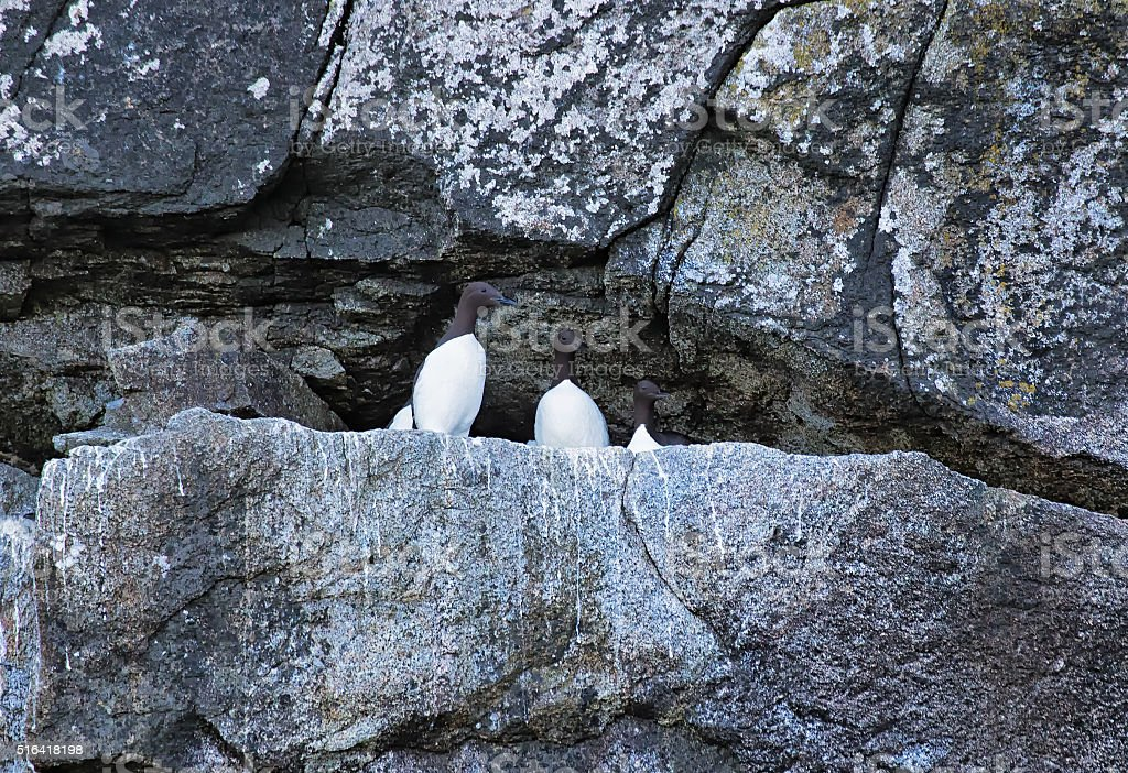 Common murres roosting in the rocks stock photo