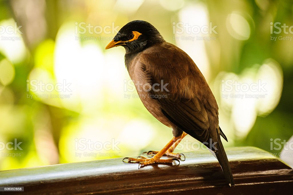 common myna bird from southeast asia stock photo