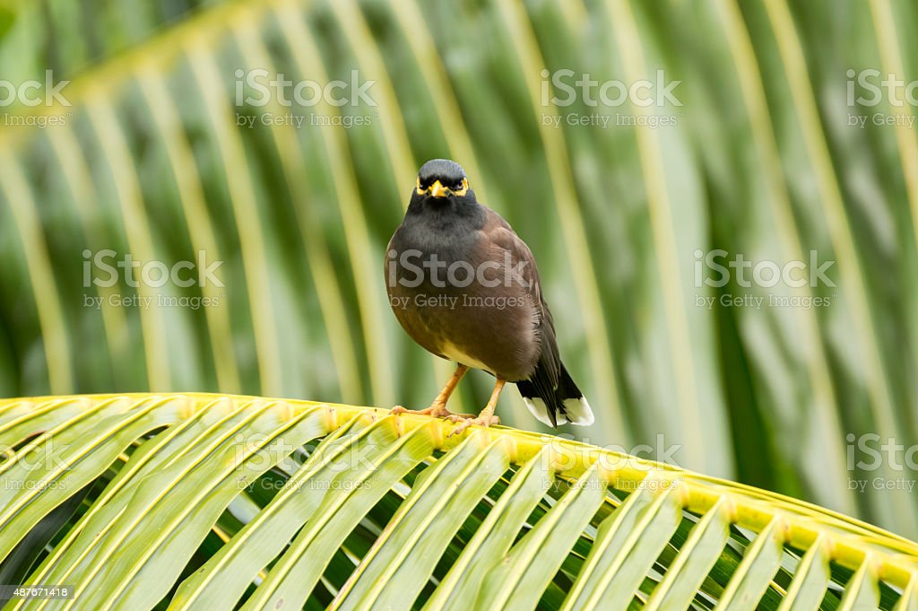 Common myna (Acridotheres tristis) bird looking camera in Seychelles stock photo