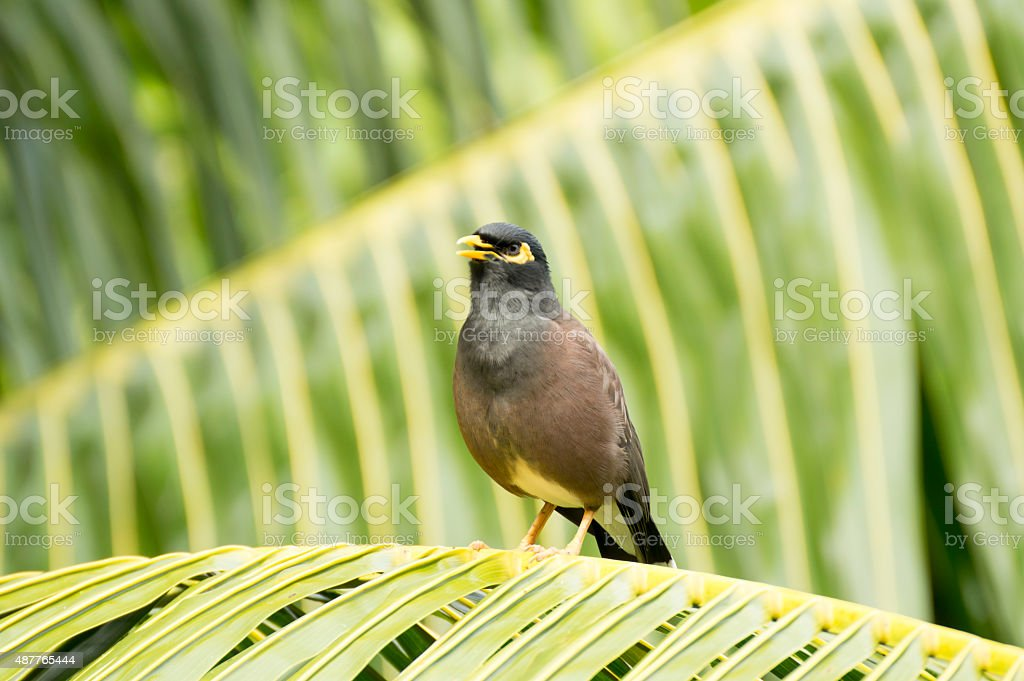 Common myna (Acridotheres tristis) bird singing in a Palm, Seychelles stock photo