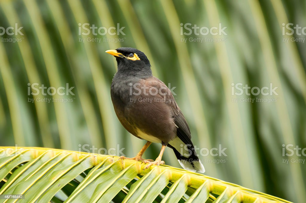 Common myna (Acridotheres tristis) bird sleeping in a Palm, Seychelles stock photo