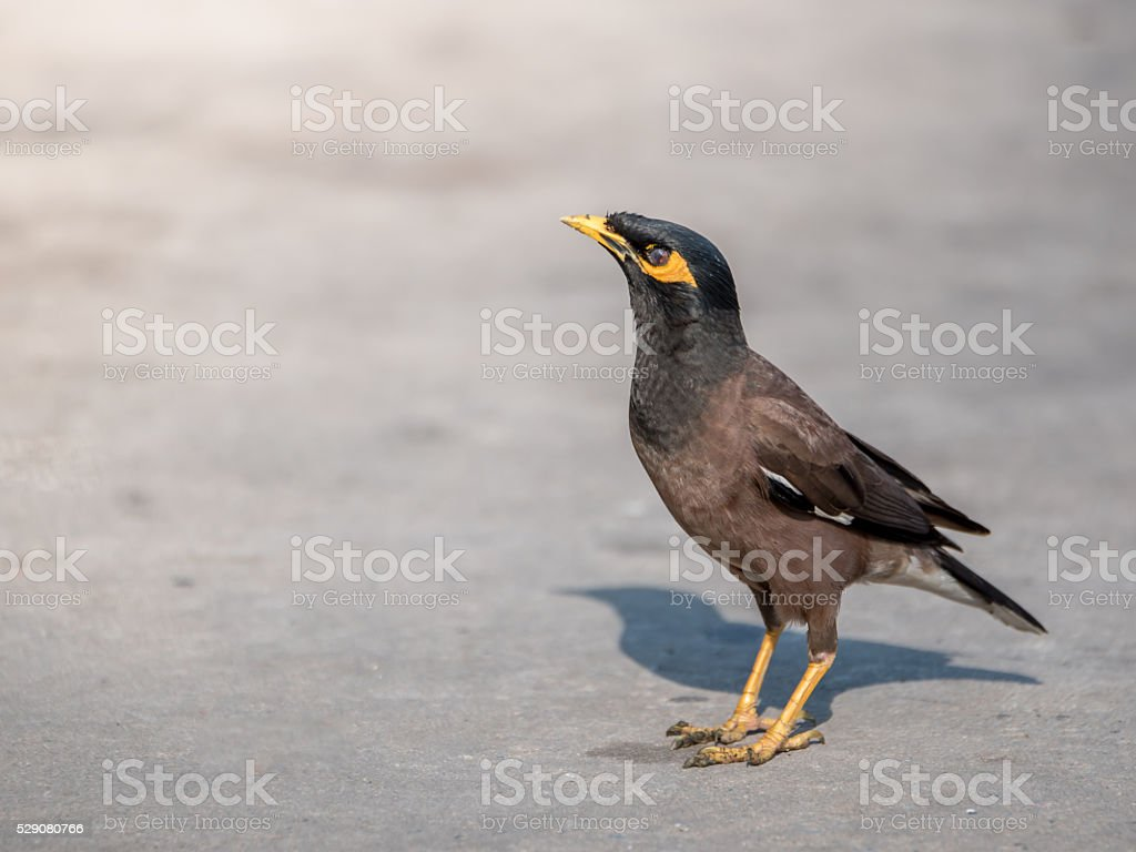 Common Myna (Acridotheres tristis tristis), Bird standing on concrete floor stock photo