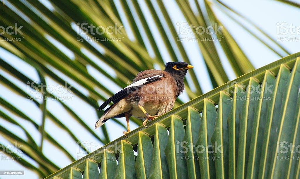 Common Myna Bird , Thailand stock photo
