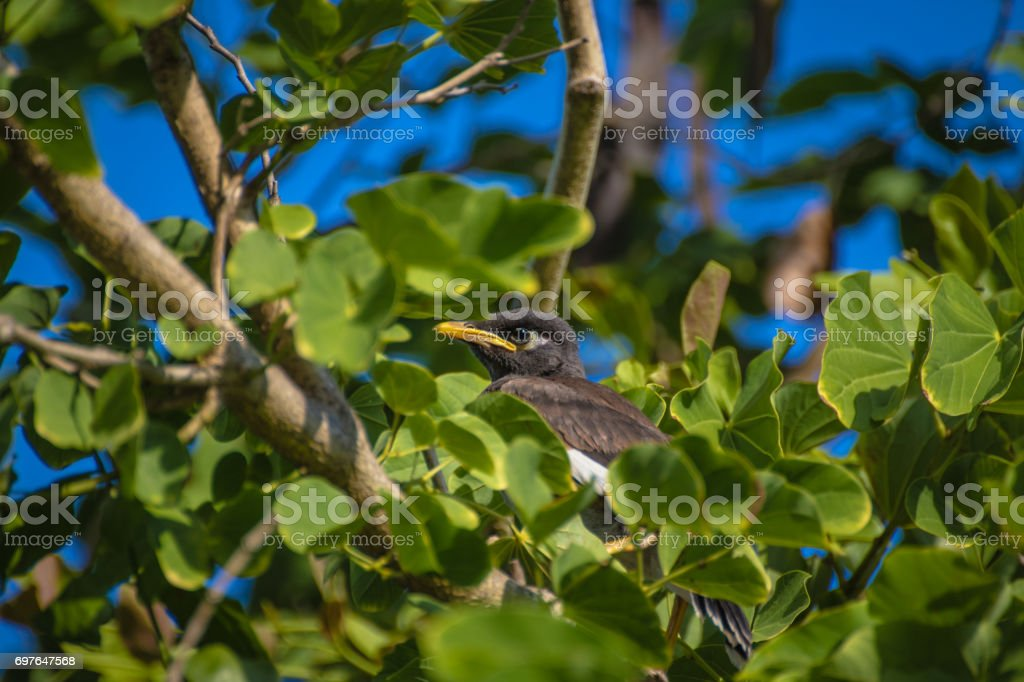 Common Myna/Acridotheres tristis in the real nature. stock photo