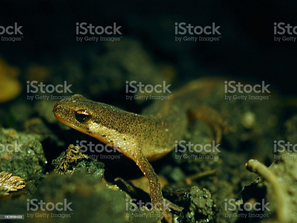 Common Newt by Torchlight stock photo
