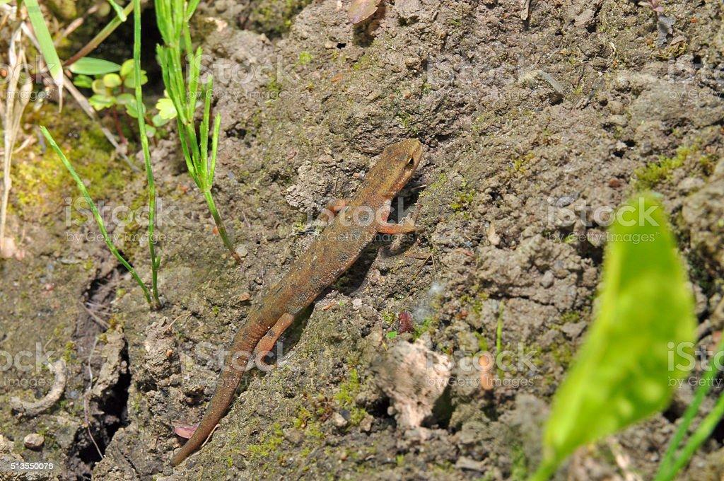 common newt stock photo
