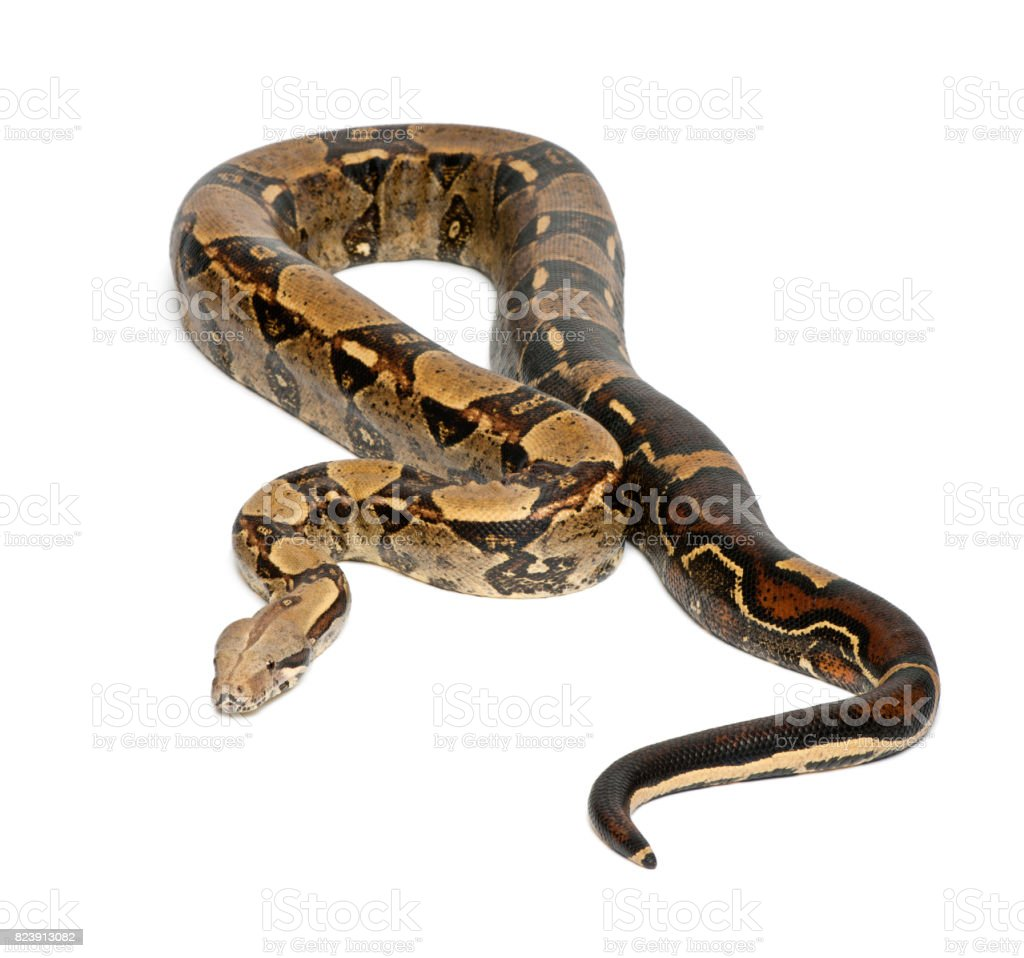 Common Northern Boa, Boa constrictor imperator, imperator is the color, against white background stock photo