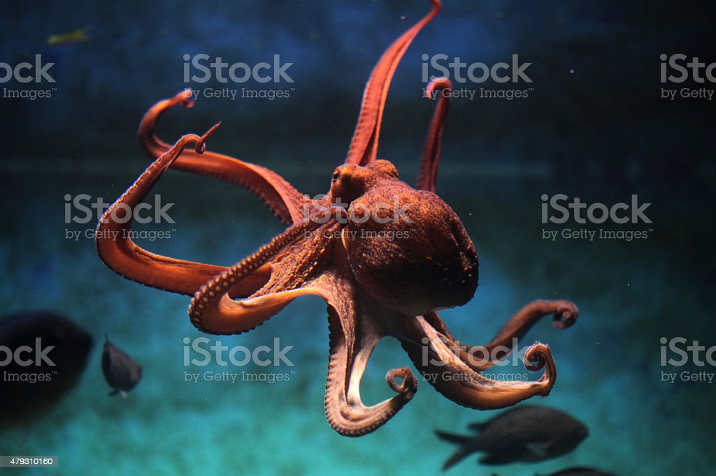 Common octopus (Octopus vulgaris). stock photo