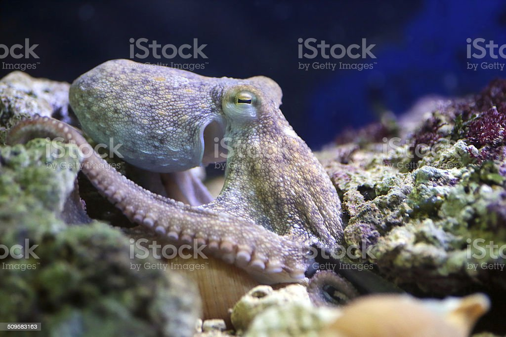 Common octopus resting on a reef stock photo