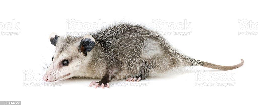Common Opossum stock photo