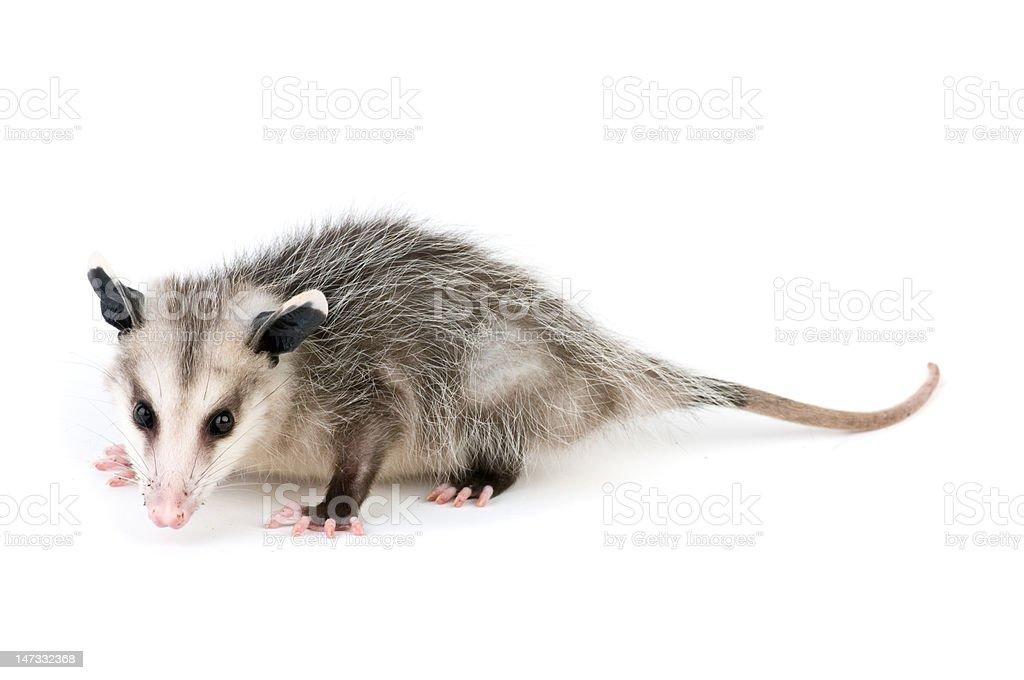 Common Opossum royalty-free stock photo