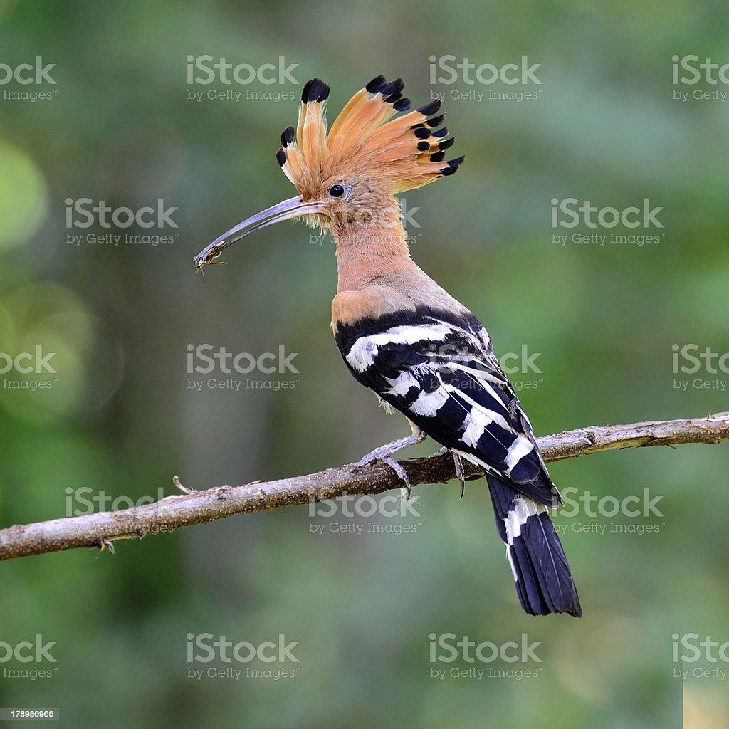 Common or Eurasian Hoopoe bird having food in mouth stock photo