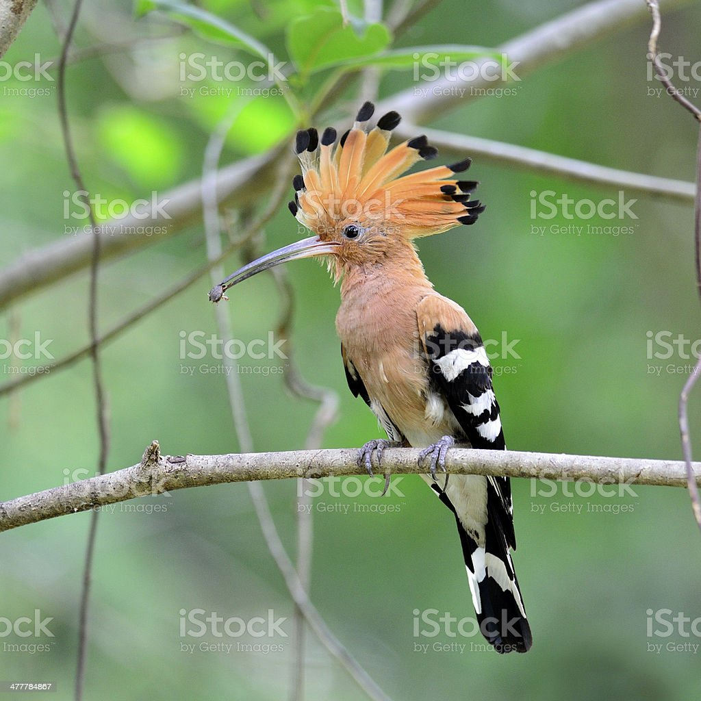 Common or Eurasian Hoopoe bird picking insect stock photo