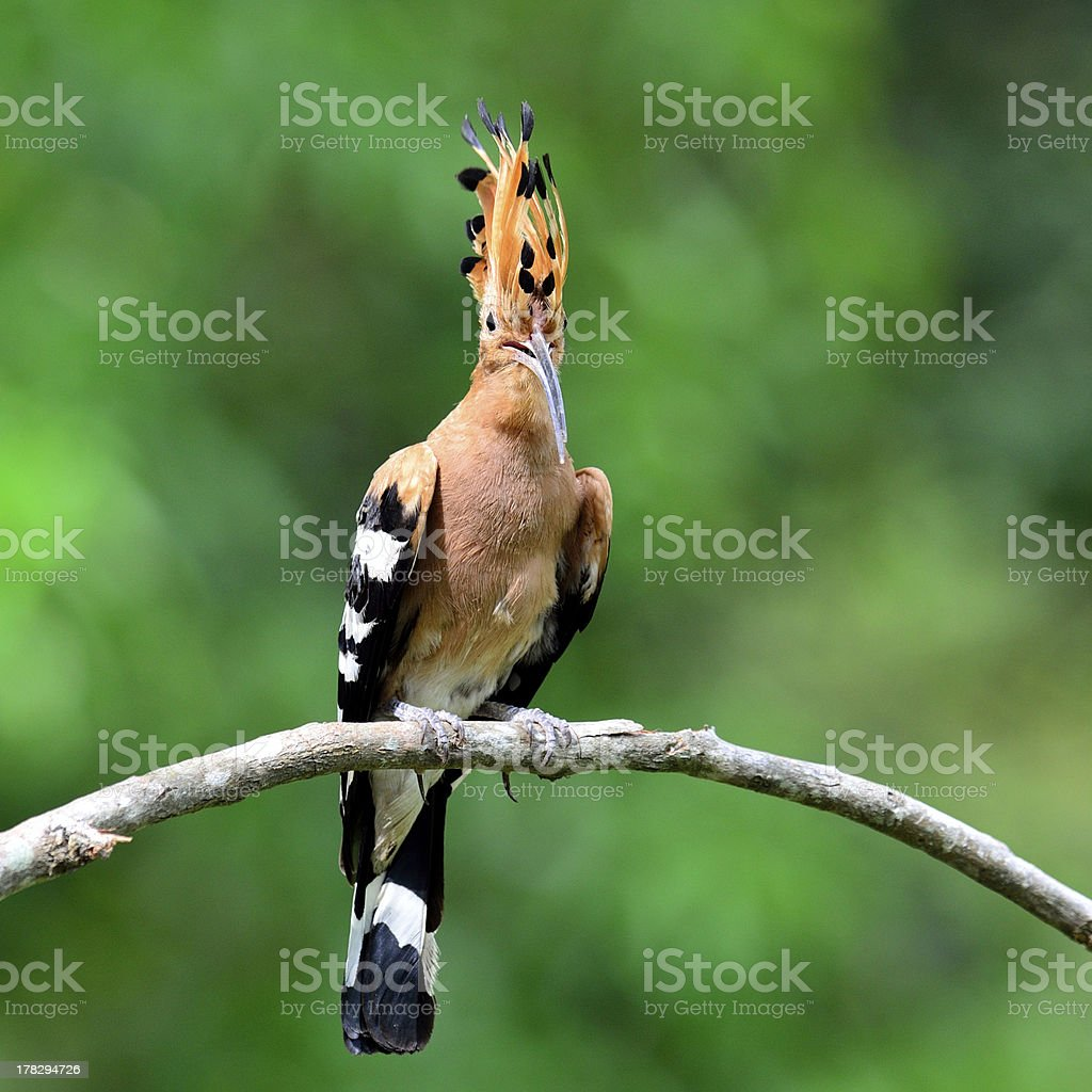 Common or Eurasian Hoopoe bird spiky hair stock photo