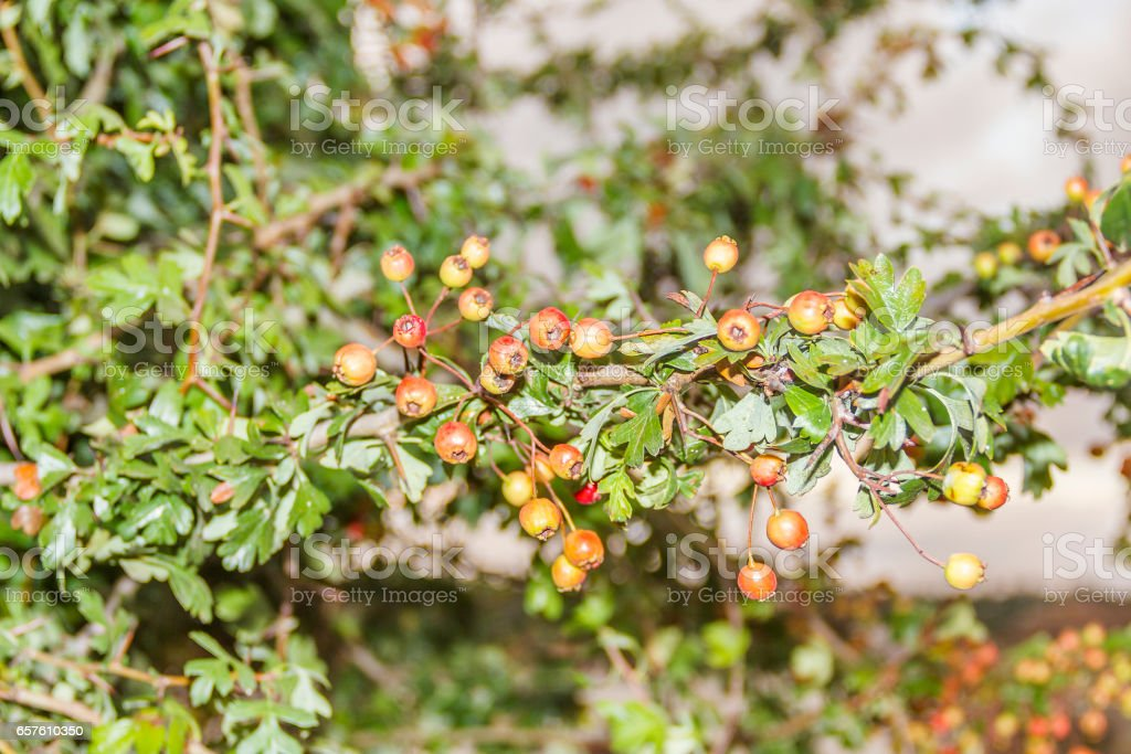 Common or single-seeded hawthorn stock photo
