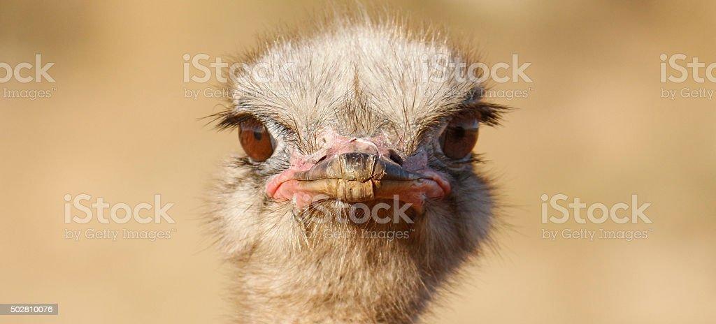 Common Ostrich stock photo