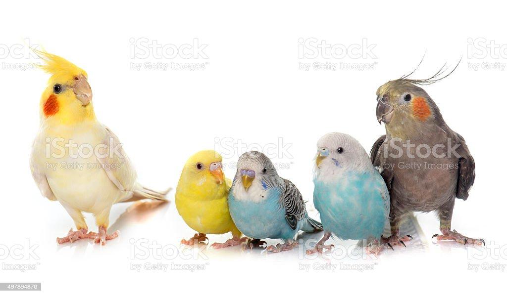 common pet parakeet and Cockatiel stock photo