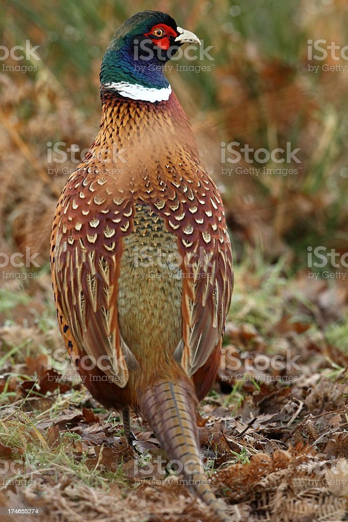 Common Pheasant (Phasianus colchicus) royalty-free stock photo