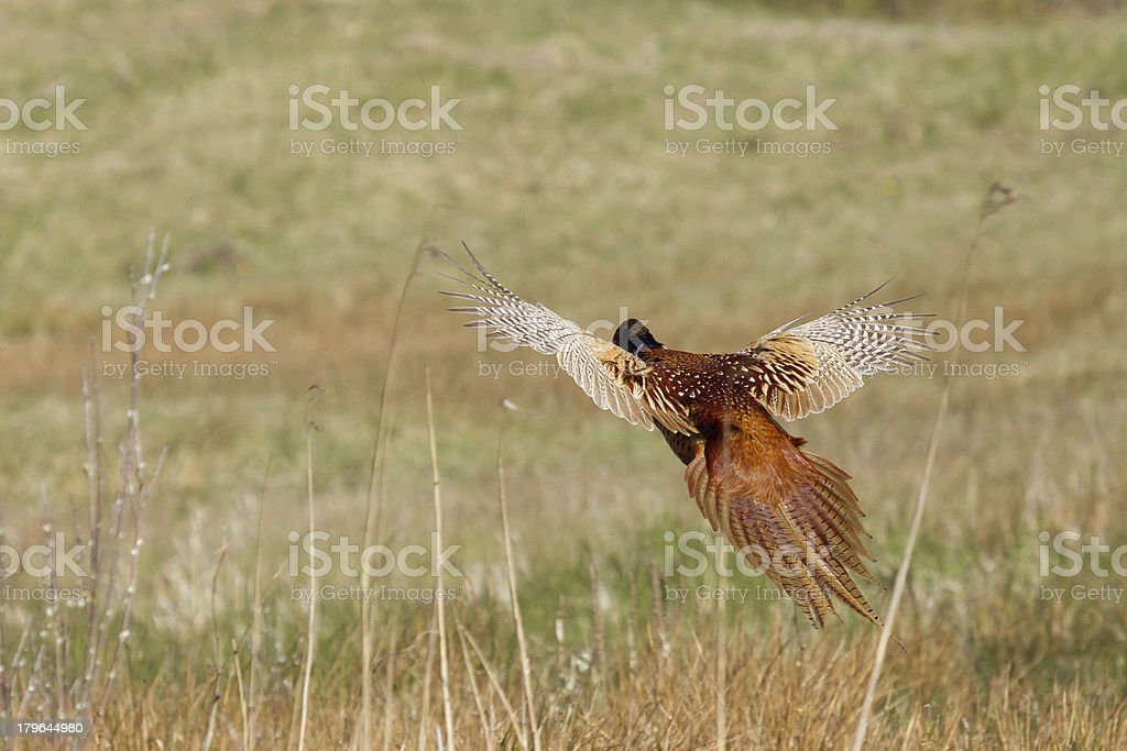 Common Pheasant royalty-free stock photo