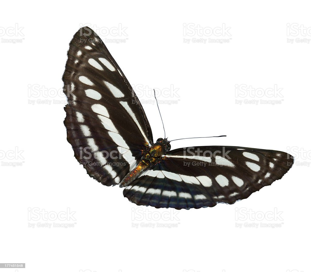 Common plain sailor butterfly isolated stock photo