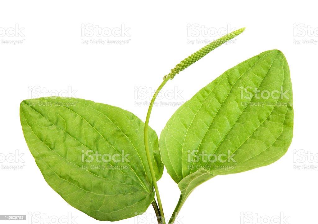common  plantain stock photo