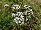Common Polish flower