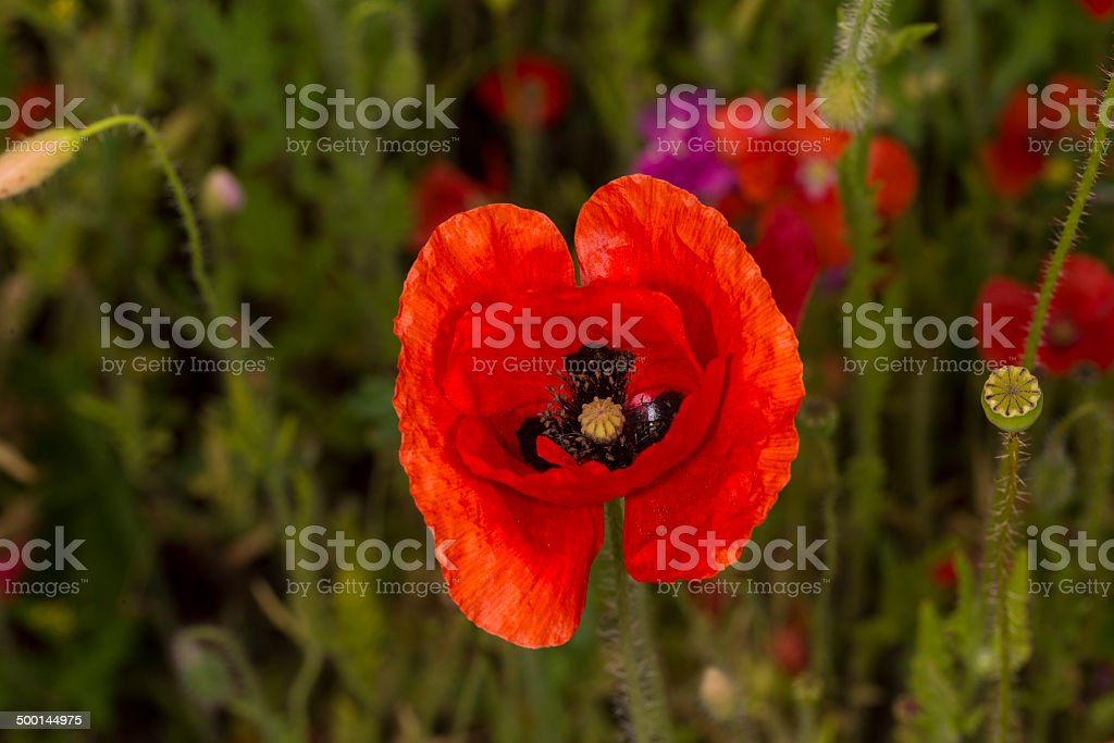 Common Poppy royalty-free stock photo